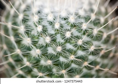 Closeup of globe shaped cactus with sharp long thorns. Cactus nature green background or wallpaper. Symbolizes warmth, protection and endurance.