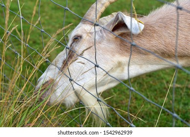 Closeup of a goat with horns eating grass from the other side of the fence, where it is better