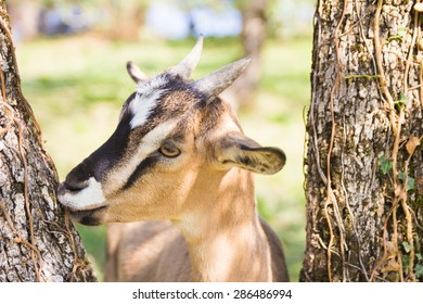 Closeup of goat on the trees