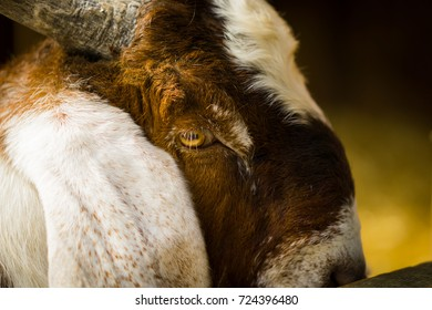 Close-up of a Goat's face