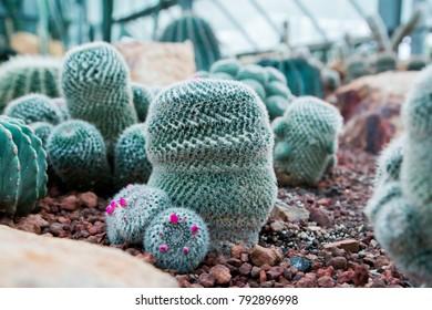 Closeup of The Golden cactus , round cactus