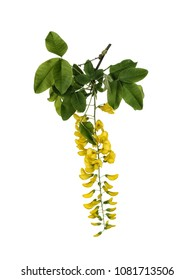Closeup of Golden Chain, or Laburnum flower, isolated on white background.