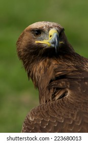 Close-up of golden eagle head and neck