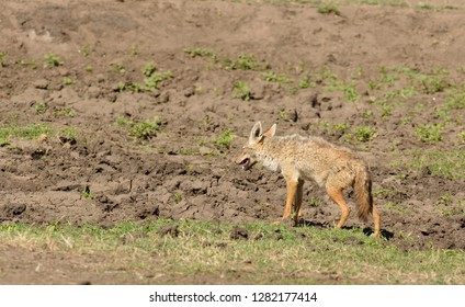"Close-up of Golden Jackal (scientific name: canis aureus, or ""Bweha wa mbugua"" in Swaheli) in the Ngorogoro National park , Tanzania"