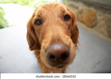 Closeup of golden retriever, DOF focus on eyes