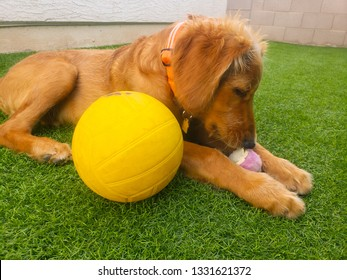 Closeup of Golden Retriever mix puppy playing with a tennis ball and a yellow volleyball while laying on artificial grass