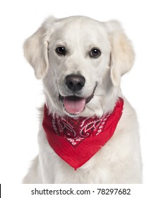 Close-up of Golden Retriever wearing red handkerchief, 9 months old, in front of white background