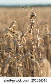 close-up of golden ripe wheat ear in cereal field summertime before harvest