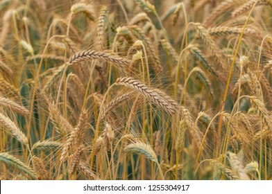 Closeup of golden rye awns in the rye field. Agriculture, farming, food, GMO and beer concepts.