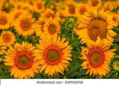 closeup golden sunflowers field