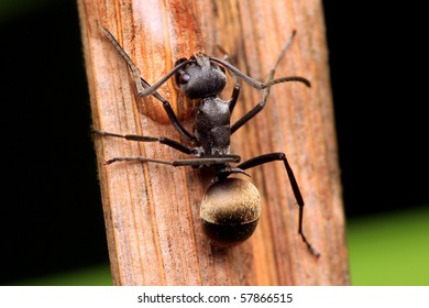 Closeup of a Golden Tailed Spiny Ant