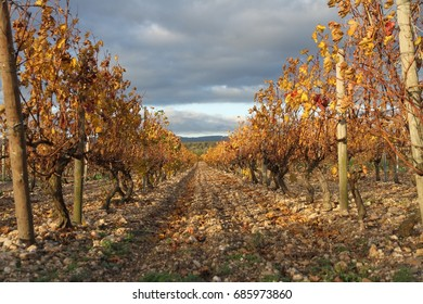 A closeup of the golden vineyards of the Languedoc-Roussillon world famous wine making area in the region of Provence, France.