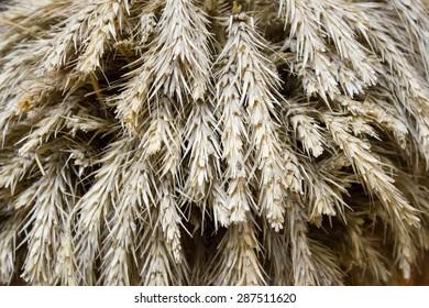 Closeup of golden wheat