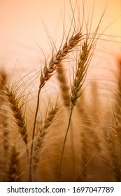 Close-up  golden wheat  or barley in nature background