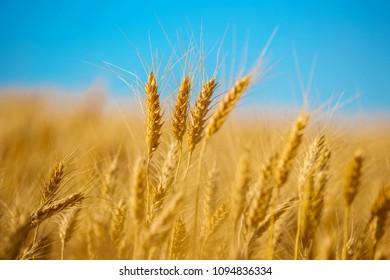 closeup golden wheat field on a blue sky background