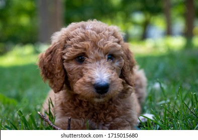 Closeup of a goldendoodle puppy laying in the grass.