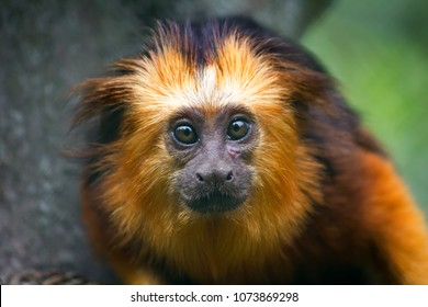 Close-up of golden-headed lion tamarin. Photography of wildlife