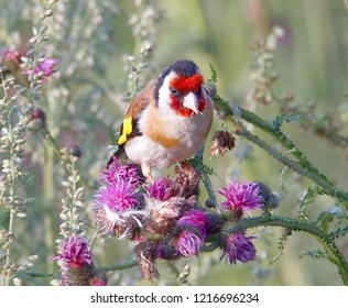 Closeup of a Goldfinch bird eating purple thistle, the favourite food (latin: Spinus tristis)
