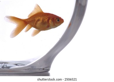 A closeup of a goldfish in a bowl against a white background.