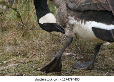 Close-up of a goose preening and grooming itself.