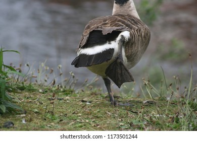 Close-up of a goose walking away.
