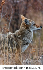 Closeup of gorgeous wild coyote in profile with snowflakes in the air in Yukon, Canada