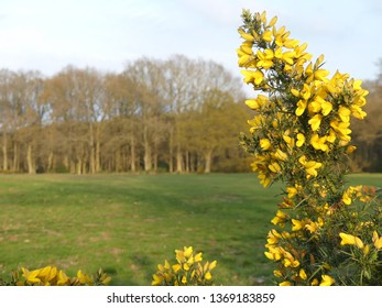 Close-up of gorse plant flowers with a blurred background, Chorleywood Common, Hertfordshire