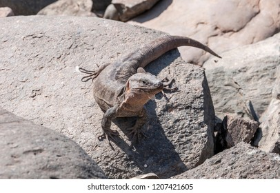 Close-up of Gran Canaria giant lizard, Gallotia stehlini. It is endemic to Gran Canaria, in the Canary Islands, Spain. Photo taken in Maspalomas