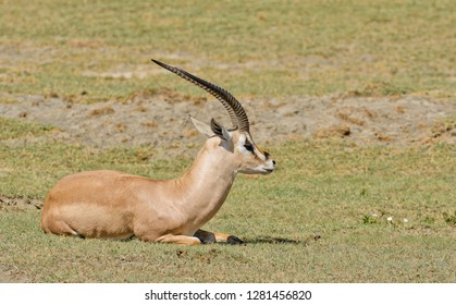 "Closeup of Grant's Gazelle (scientific name: Gazella granti, robertsi or ""Swala granti"" in Swaheli) in the Ngorongoro National park, Tanzania"