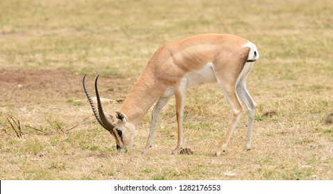 "Closeup of Grant's Gazelle (scientific name: Gazella granti, robertsi or ""Swala granti"" in Swaheli) in the Ngorogoro National park, Tanzania"