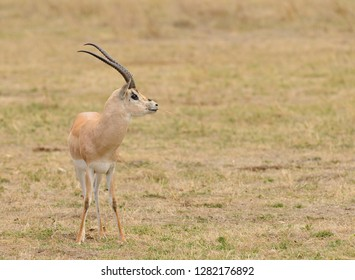 "Closeup of Grant's Gazelle (scientific name: Gazella granti, robertsi or ""Swala granti"" in Swaheli) in the Ngorogoro National park, Tanzania. With copy space"