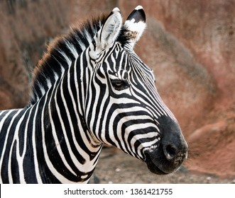 Closeup of a Grant's Zebra posing at the zoo