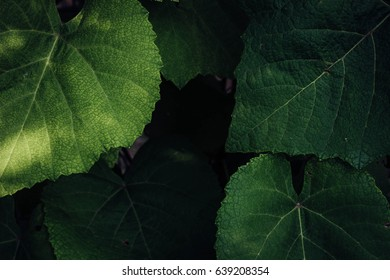 Closeup of grape leaves covering each other