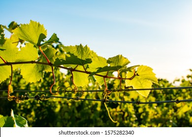 A closeup of grape leaves in an Oregon vineyard, detail of leaves, vivid sun in the background, wires wrapped with vine tendrils.
