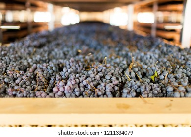 Closeup of grapes being dried in wood racks (called Appassimento in Italian), an ancient wine making technique still used today to make Amarone wine