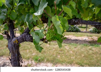 Close-up of grapes growing in a vineyard in summer, Canterbury, New Zealand