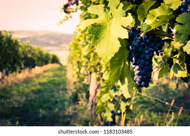 Close-up of grapes on a vineyard on a sunny day. Soft focus, nice light. Czech Republic, South Moravia.