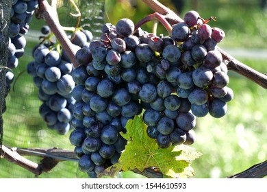 Closeup of grapes in vineyard at german side of lake Bodensee, near the town Hagnau Immenstadt. DE Germany. 15th Oct.2019