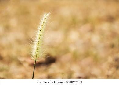 Close-up grass flower against blur nature background. Selective focus.