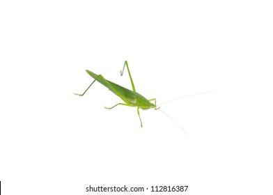 closeup grasshopper on white background