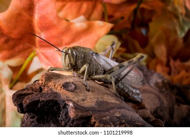 Close-up of a grasshopper, perched on an old wood