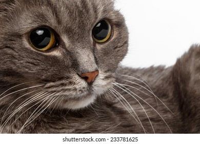 closeup gray cat with big round eyes on white background