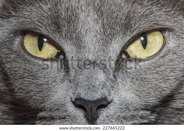 Close-up of gray cat with yellow green eyes