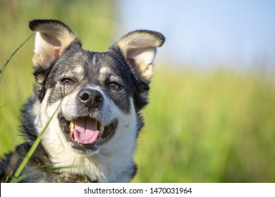 close-up gray face of a West Siberian husky on a green meadow, copy space