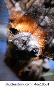 Close-Up Of Gray Headed Flying Fox Looking At You