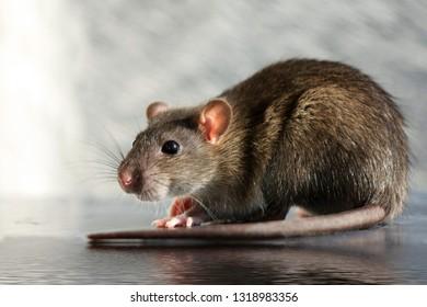 Close-up gray rat
