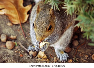 Closeup of gray squirrel: A gray squirrel chomping on taco at Urbana, Illinois Squirrel / Animal / Wildlife Background