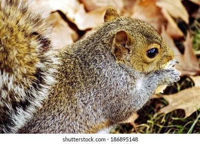 Closeup of gray squirrel: A gray squirrel chomping on acorn at Urbana, Illinois Squirrel / Animal / Wildlife Background