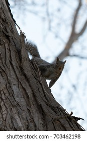 Closeup of gray squirrel hanging on a tree looking at the camera.
