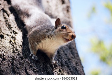 Closeup of a gray squirrel holding on to a tree